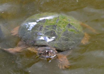 Snapping Turtle 1 - Rideau_LeBoat©Bruce Kemp 2020 _DSC5955_edited-1